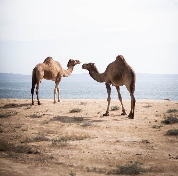 kamieļu vilnu
